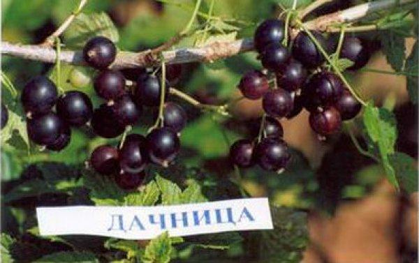Смородина черная 'зеленая дымка' — описание сорта, характеристики