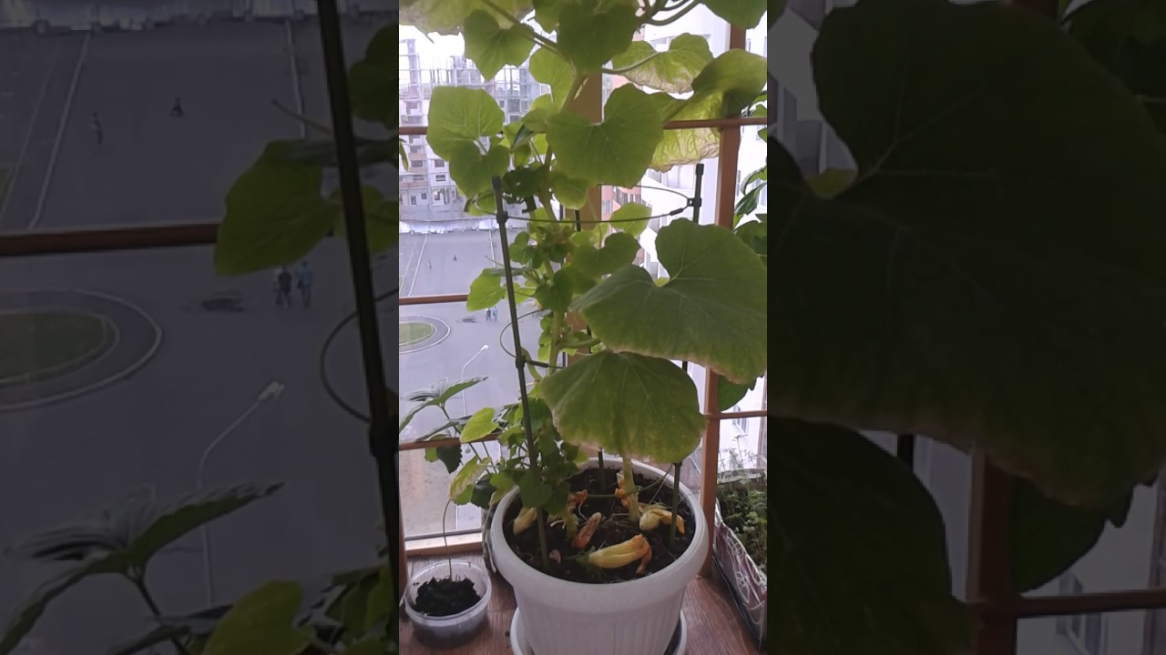 Как легко вырастить и ухаживать за тыквой на балконе дома - всё про сады