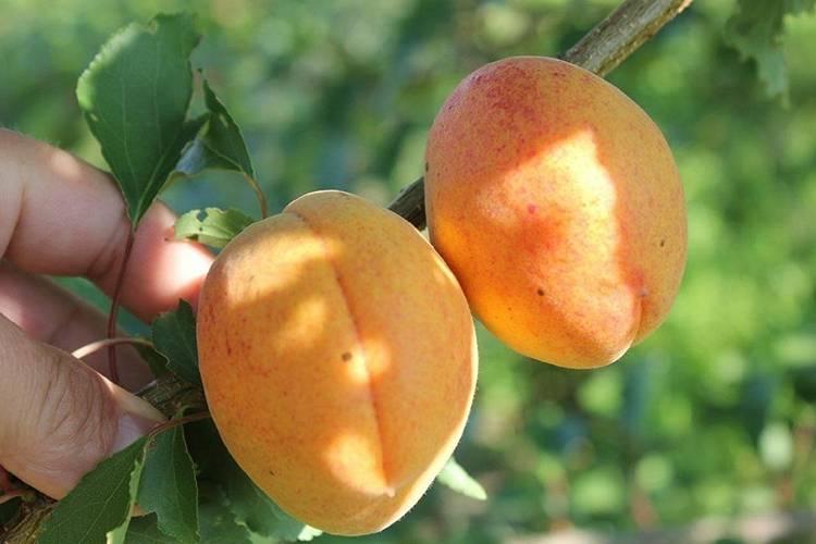 Сорт абрикоса мелитопольский ранний, описание, характеристика и отзывы