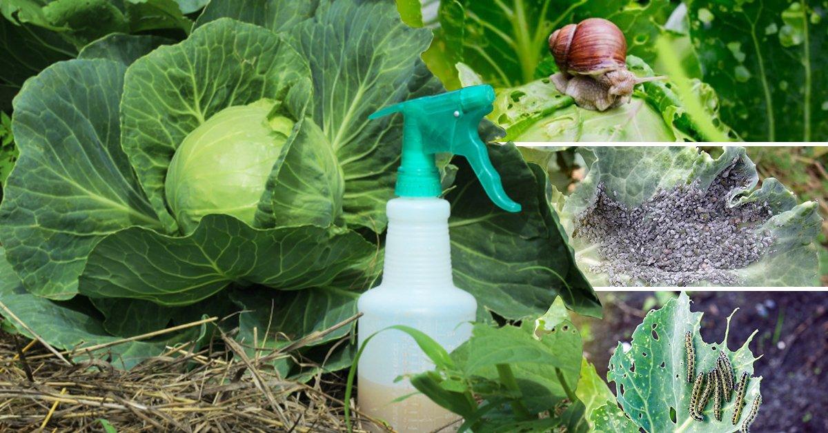 Как избавиться от гусениц на капусте: эффективные методы, видео и фото