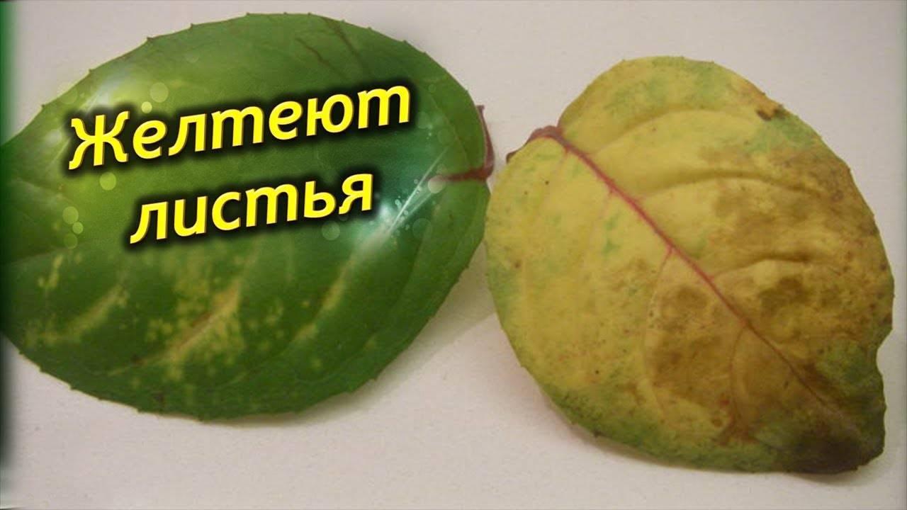 У яблони желтеют листья: что делать, чем лечить, чем подкормить