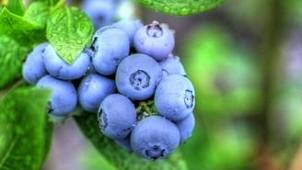 Голубика блюджей: описание сорта с характеристикой и отзывами, особенности посадки и выращивания, фото
