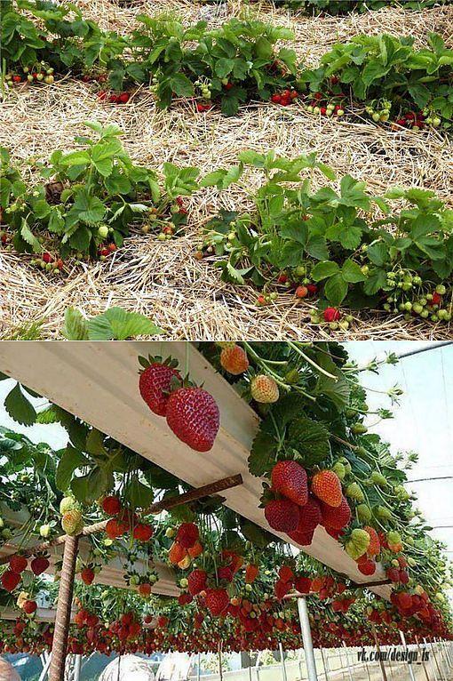 Клубника: выращивание и уход в сибири, сорта для холодных регионов