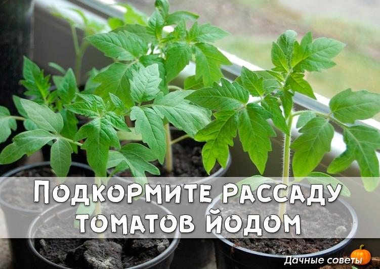Подкормка рассады помидор: чем и как подкормить