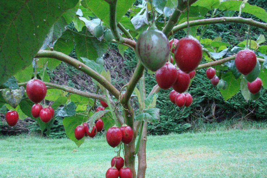 Помидорное дерево тамарилло. выращиваем вместе в домашних условиях