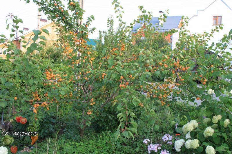 Лель — сказочный абрикос для дачника
