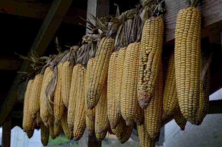 Польза и вред кукурузы для здоровья человека: свойства свежих молодых початков, и полезна ли белая, молочная, сырая и сладкая для организма женщин и не только и чем?