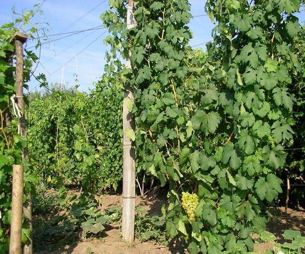 Чем интересен виноград «галахад»: описание сорта, его достоинства и недостатки. особенности посадки винограда «галахад» и уход за сортом