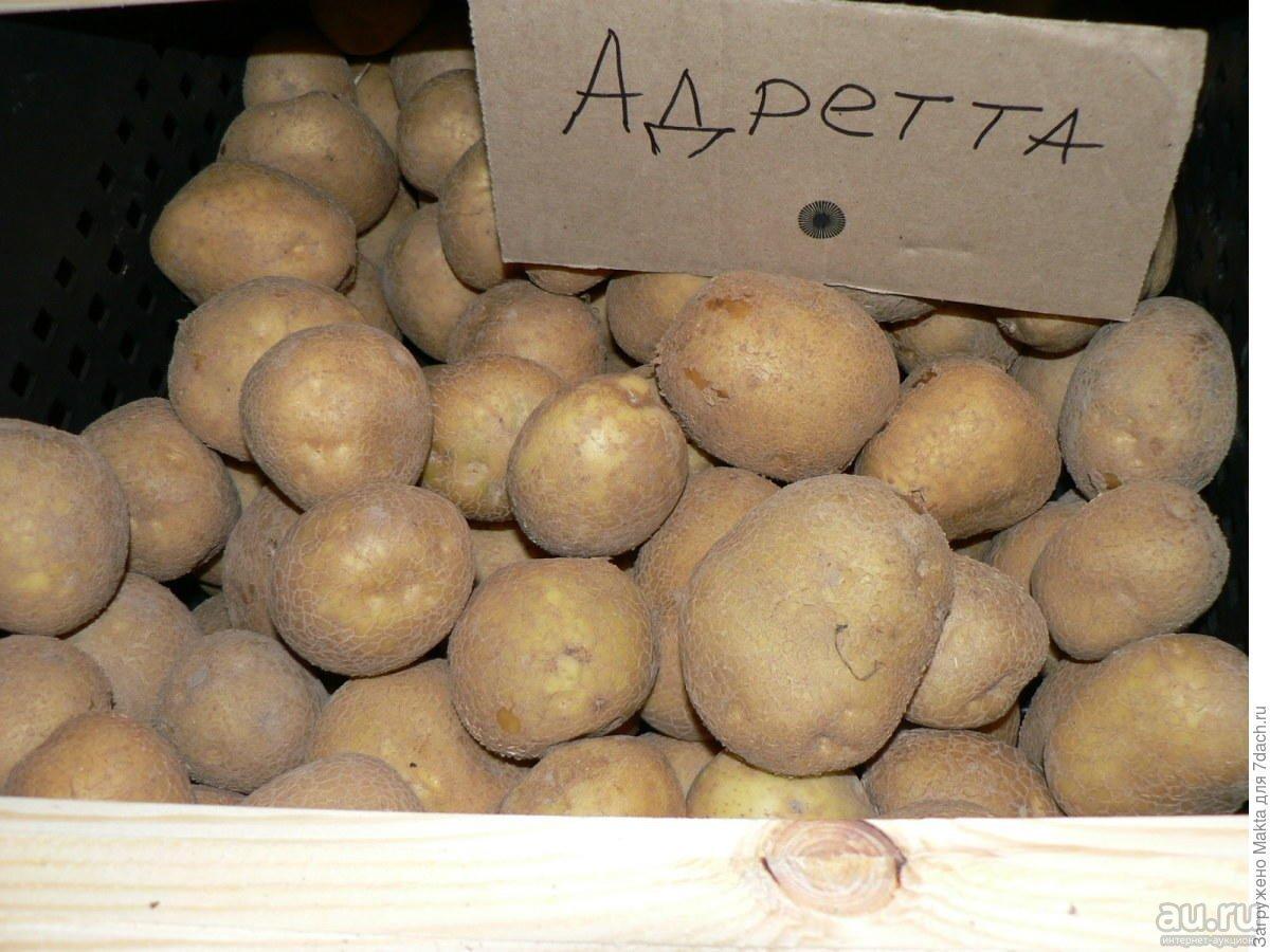 Характеристика сортов картофеля и особенности их выращивания | cельхозпортал