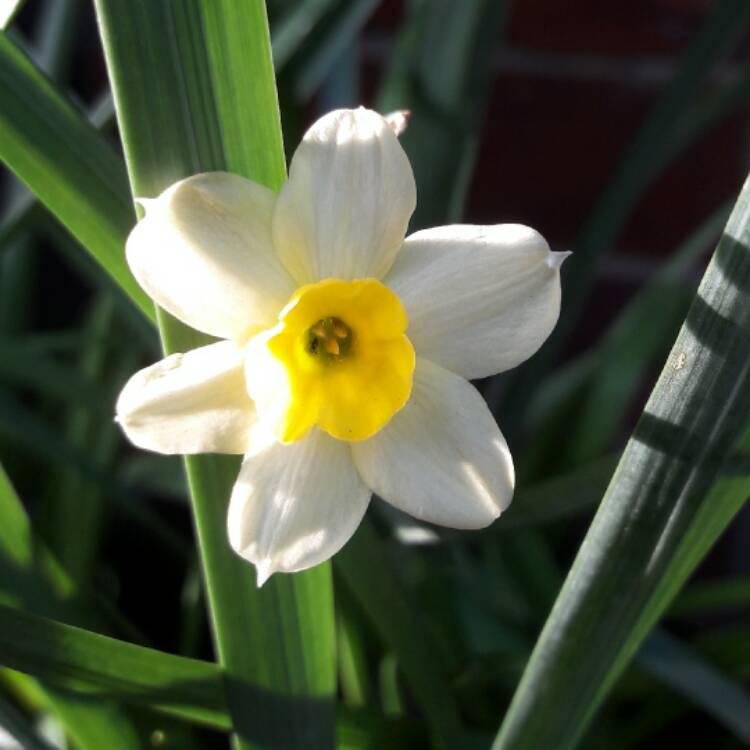 Посадка и уход за нарциссами в открытом грунте: осенью, весной