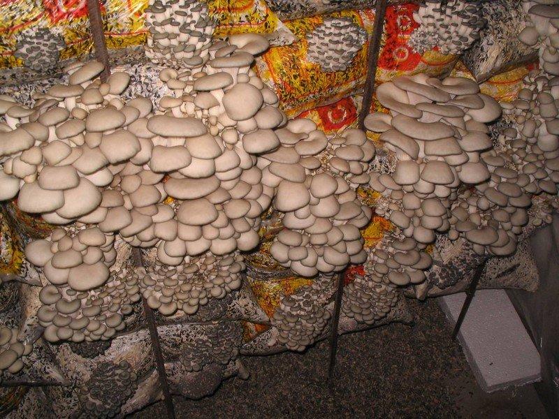 Выращивание грибов в теплице: особенности разведения вешенки и шампиньонов