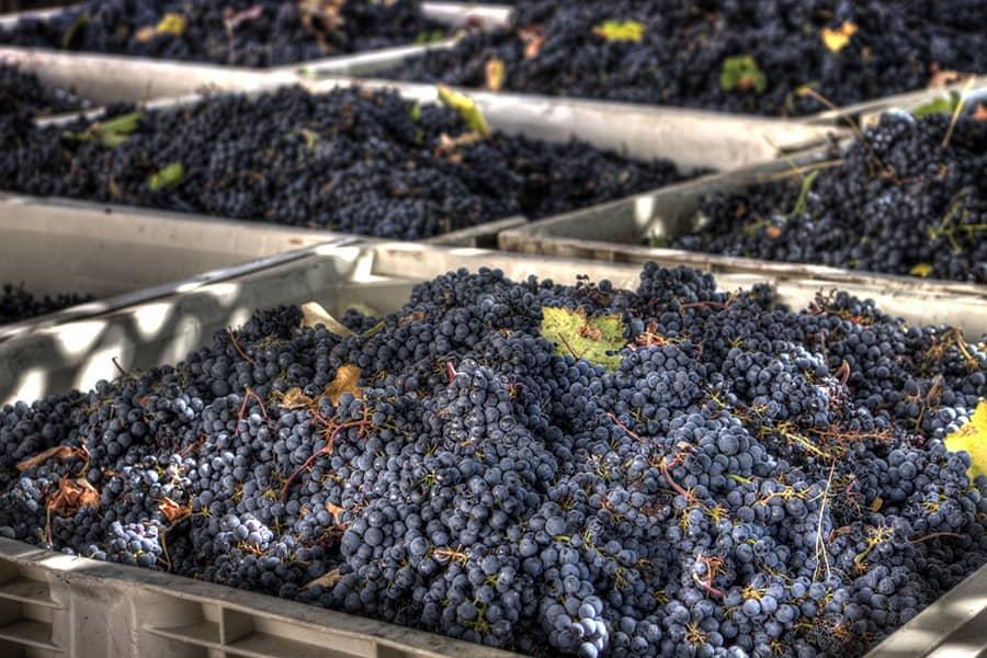Сохраняем виноград до нового года в домашних условиях