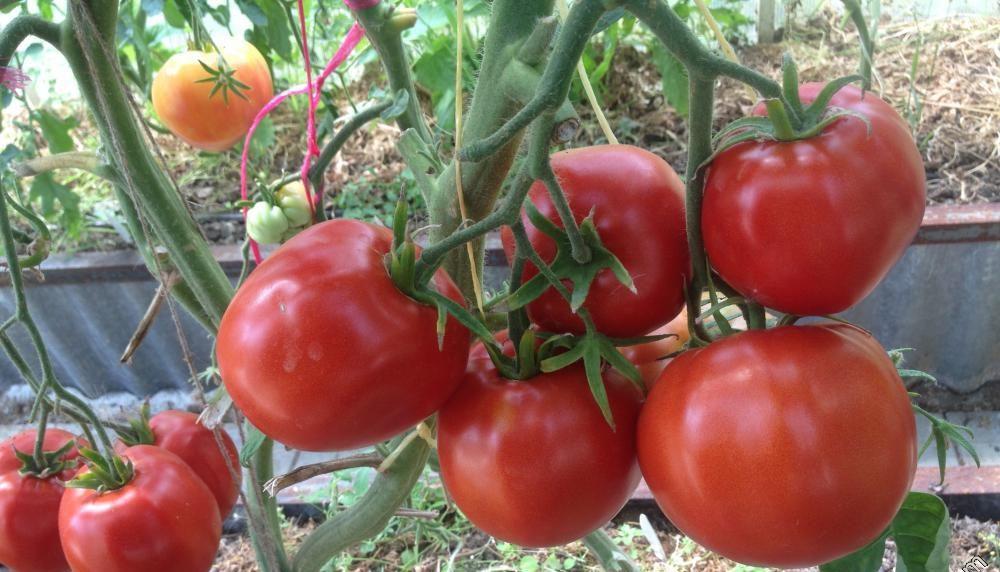 Характеристика томата Сибирское чудо и советы по выращиванию на участке