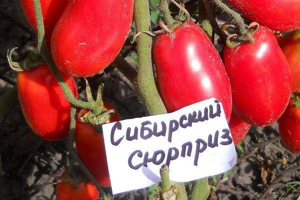 Томат сибирский скороспелый - характеристика и описание сорта, как вырастить?