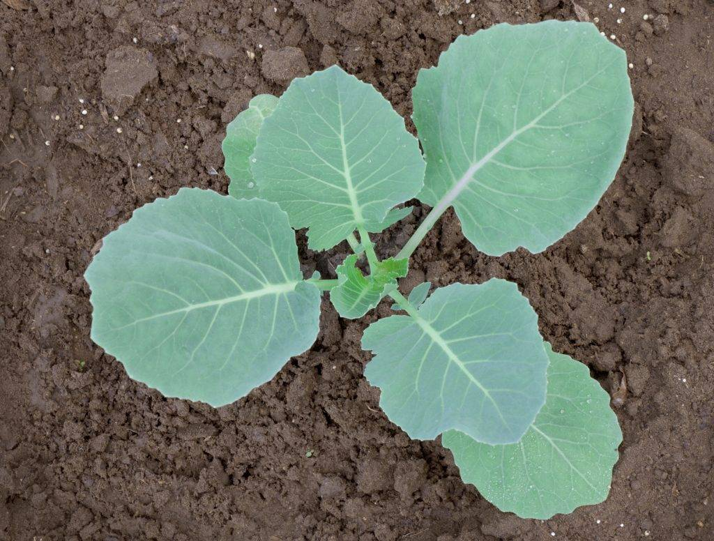 Ждал зеленую красавицу, а вырастает синеватое нечто — почему у капусты фиолетовые листья и что с этим делать?