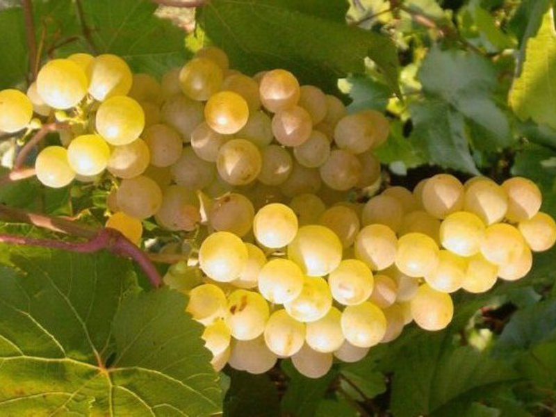 Виноград юлиан: описание сорта с характеристикой и отзывами, особенности посадки и выращивания, фото
