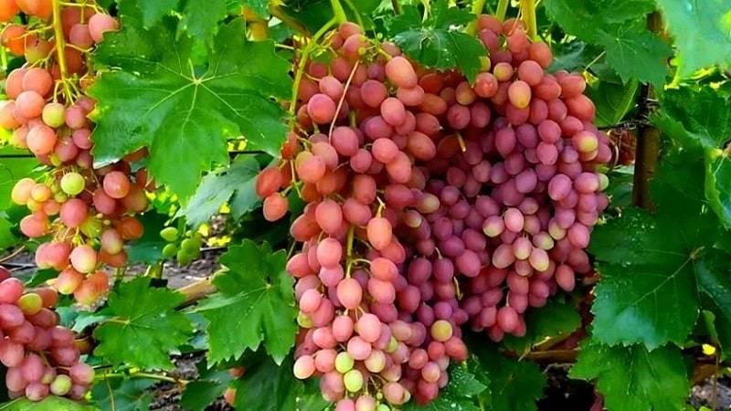 Сорт винограда кишмиш лучистый. фото и описание, отзывы, посадка и уход, особенности сорта, обрезка, советы 2021 года