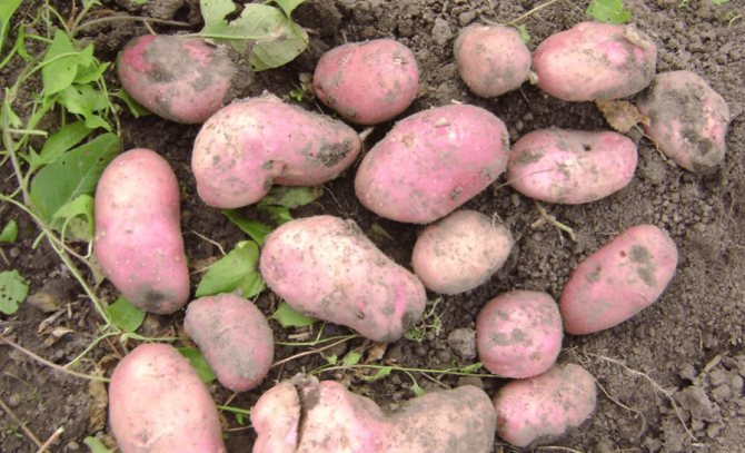 """Картофель """"манифест"""": описание сорта, фото, отзывы"""