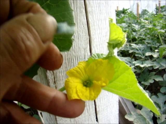 У дыни нет завязей - есть ли шанс спасти урожай? | огородник чем подкормить дыню, если у нее не завязываются плоды? | огородник
