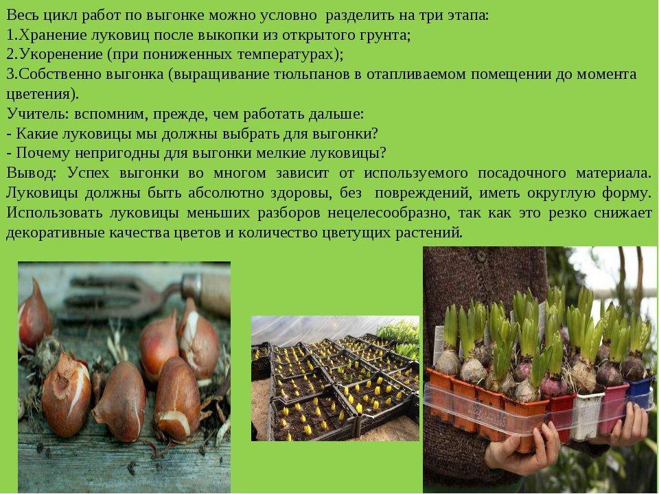 Как правильно хранить луковицы тюльпанов