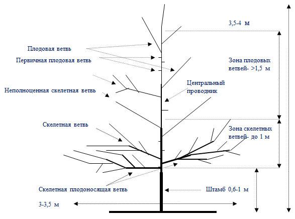Как обрезать грецкий орех. обрезаем грецкий орех. обрезаем грецкий орех правильно. пошаговая инструкция и нюансы процесса.