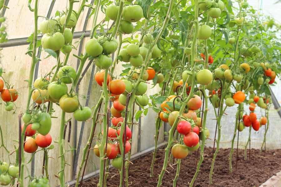 Особенности агротехники выращивания томатов в теплице