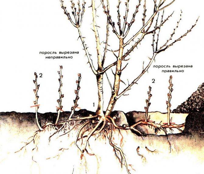 Размножение сливы черенками — заготовка, укоренение, посадка и уход
