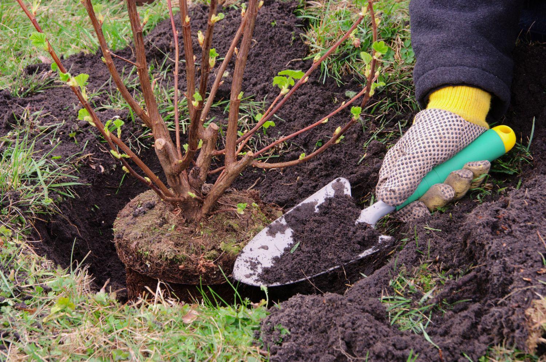 Посадка и уход за облепихой: основы выращивания на дачном участке