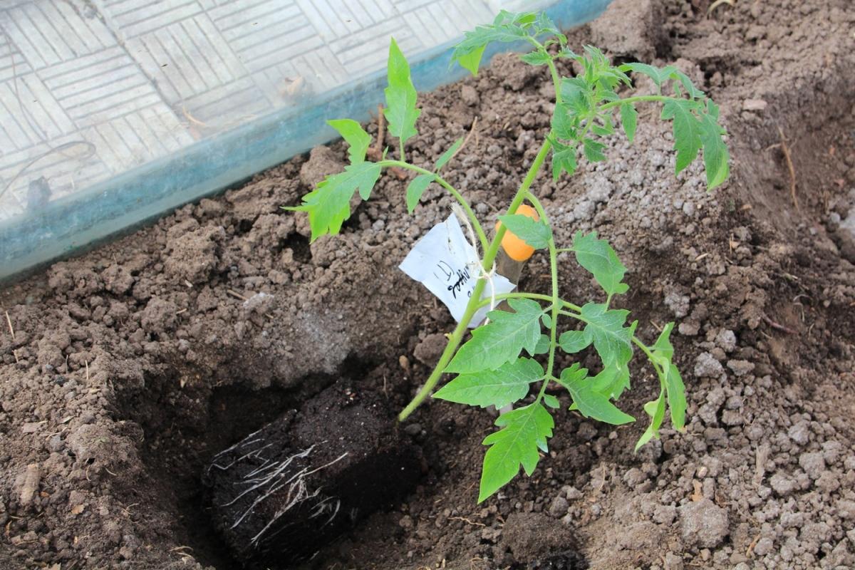 Пересадка рассады помидор (томатов) в открытый грунт или горшки
