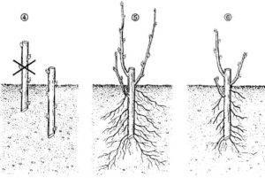 Как размножить вишню   секреты садоводов и рекомендации как правильно размножить сорт (95 фото и видео)