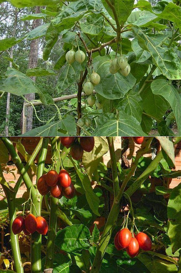 Что такое тамарилло и как использовать плоды томатного дерева в кулинарии