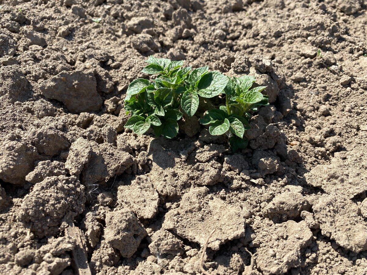 Почему плохо растет картофель: причины, что делать, как бороться