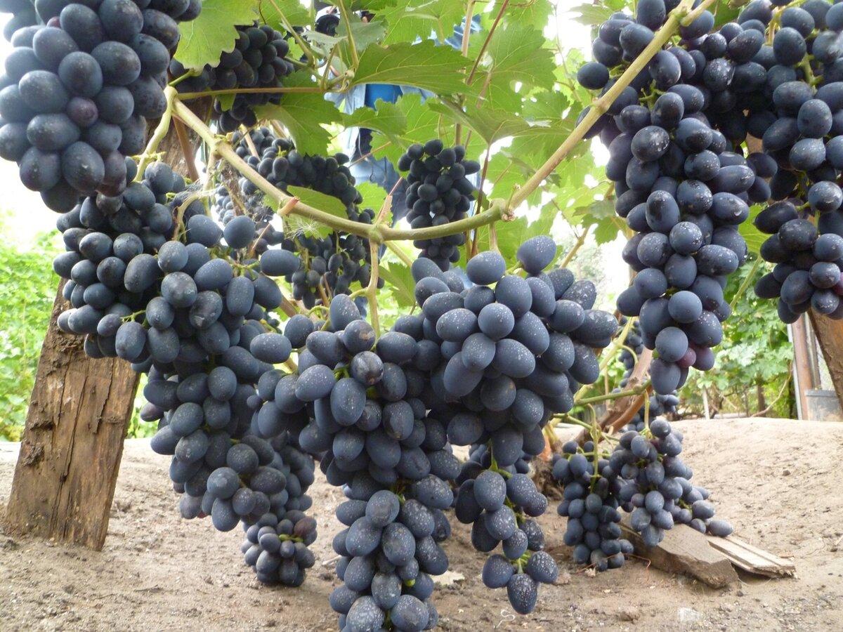 Виноград атос: описание сорта с характеристикой и отзывами, особенности посадки и выращивания, фото