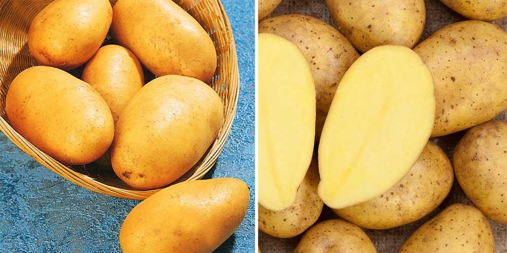 Сорт картофеля зекура - овощи | описание, советы, отзывы, фото и видео