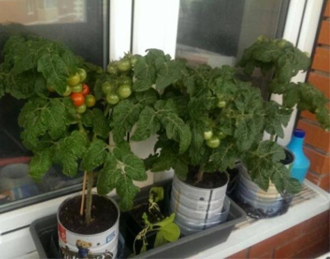 Помидоры балконное чудо выращивание дома: плюсы и минусы