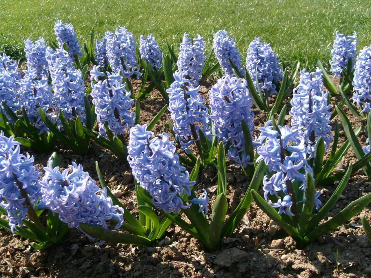 Весенние цветы в саду, особенности выбора - фото примеров