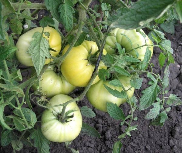 Сокровище для любого огородника — томат клондайк оранжевый: описание сорта и характеристики