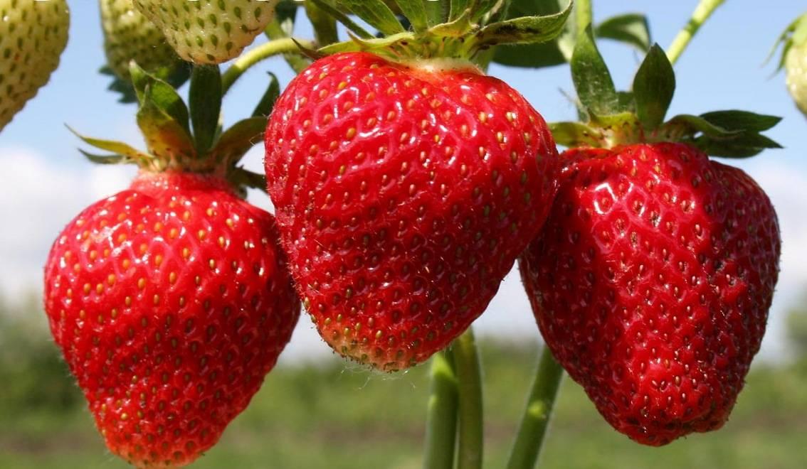 Клубника эльвира: отзывы, фото урожая, описание и характеристика, особенности выращивания, урожайность, размножение