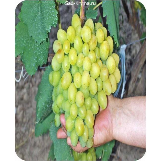 Виноград галахад: описание сорта, достоинства и недостатки, отзывы