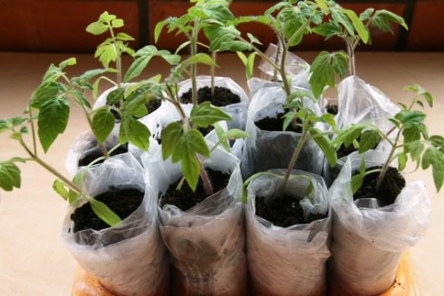 Томаты в пеленках: выращивание