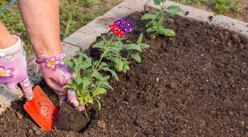 Когда и как правильно сажать клубни каллы в открытый грунт