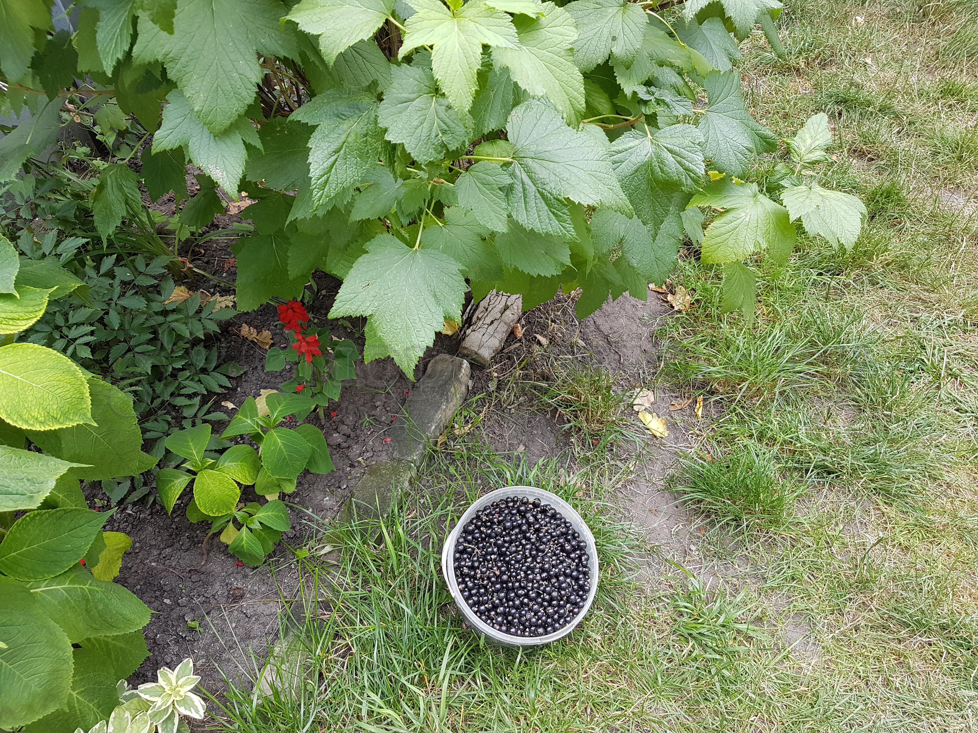 Когда собирать смородину: сбор урожая красных и черных сортов
