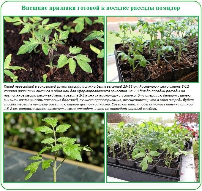 Чем подкормить рассаду помидоров в домашних условиях