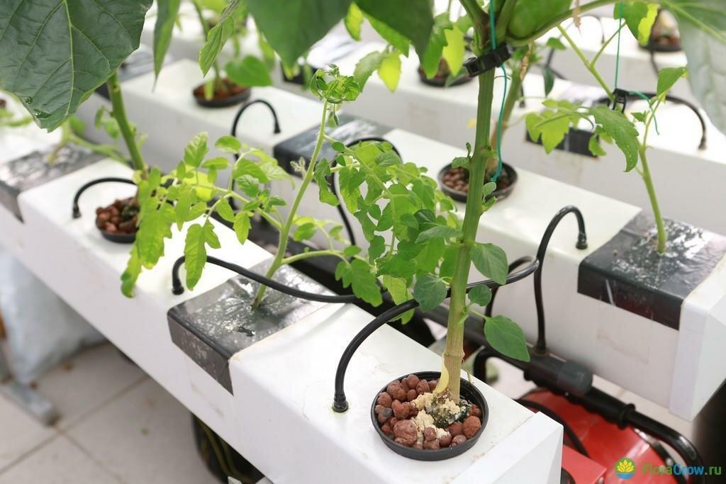 Как вырастить томаты в теплице по голландской технологии