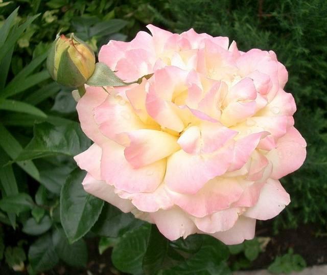 Роза глория дей: описание сорта и характеристики, правила посадки и ухода