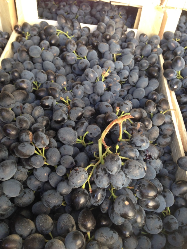 Виноград сорта молдова — высокие урожаи, виноград на всю зиму