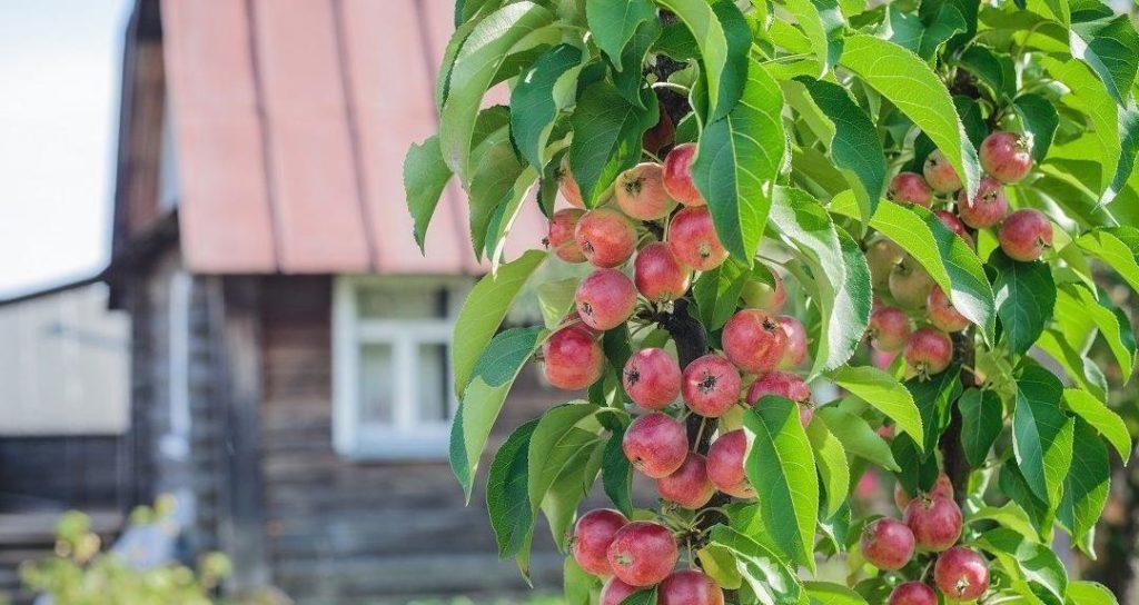 Лучшие сорта яблонь для подмосковья: летние, зимние, осенние. описание и фото