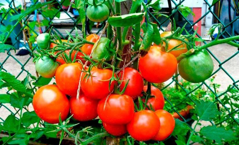 Томат лакомка: описание сорта, характеристика, отзывы об урожайности, фото - все о помидорках