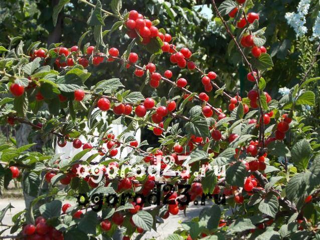 8 сортов вишни для сибири: зимостойкие на ножке, вкусные, крупные и сладкие