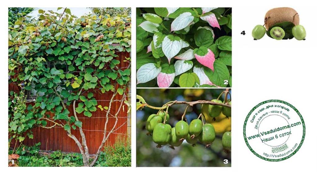 Сорта актинидии: гермафродитная, лакомка, сентябрьская, деликатесная, клара цеткин, описание, посадка, уход, отзывы